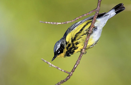 Magnolia Warbler by William H. Majoros