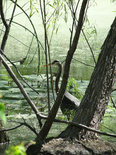 Photo of a Great Blue Heron standing in a marsh.