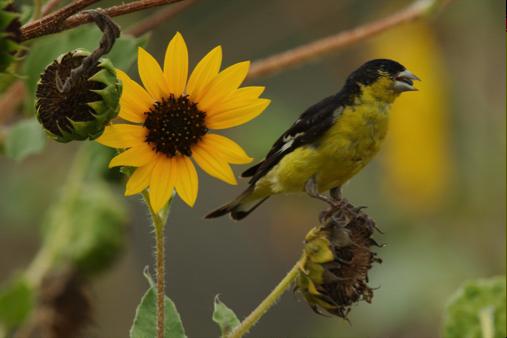 Lesser Goldfinch, Gil Eckrich