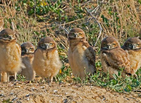 Burrowing Owl