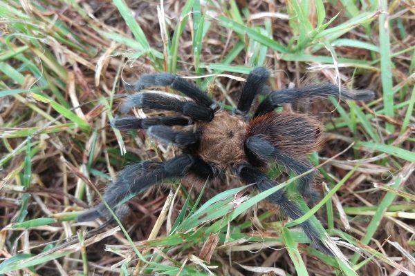 09_16_leander_tx_wandering-tarantula-at-baker-cabin-1