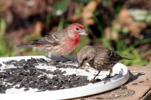 House Finches by Jim deVries