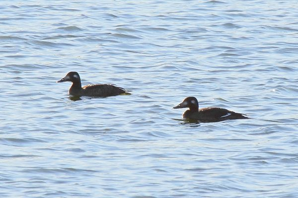 white-winged-scoters, Travis Audubon