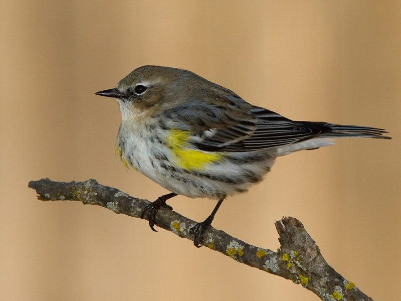 Yellow-rumped Warbler, Duane Angles