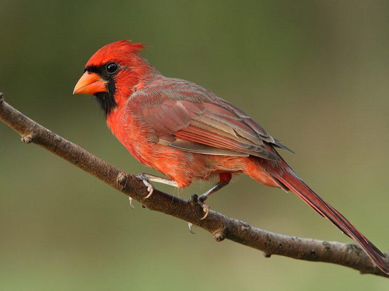 Male Northern Cardinal, Howard Cheek