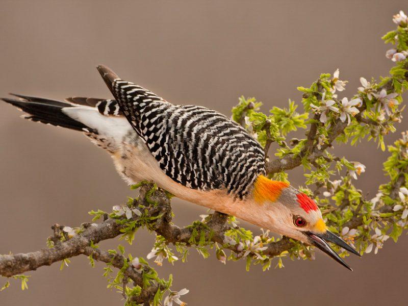 Golden-fronted Woodpecker, Randall Ennis