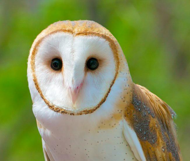 Barn Owl, Helen Steussy
