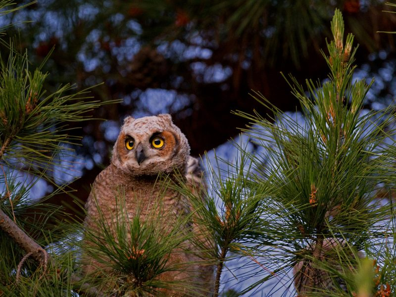 Great Horned Owl, Christopher Schwarz