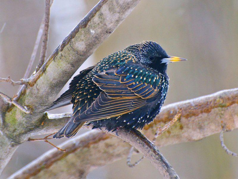 European Starling, Warren Lynn