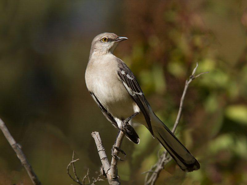 Northern Mockingbird, Marlin Greene