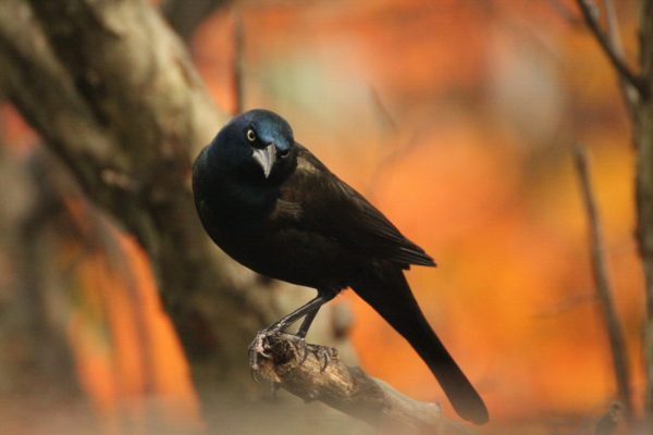 Common Grackle, Madeline Poster