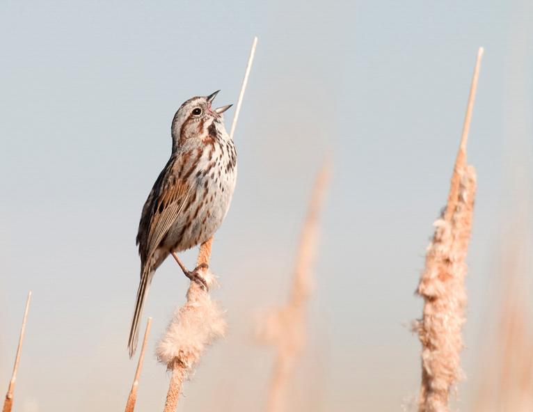 Song Sparrow, Vaughn Cottman