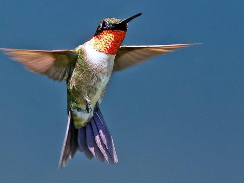 Ruby-throated Hummingbird, Brian Kushner