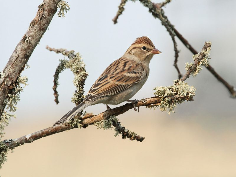 Chipping Sparrow, Roger Baker