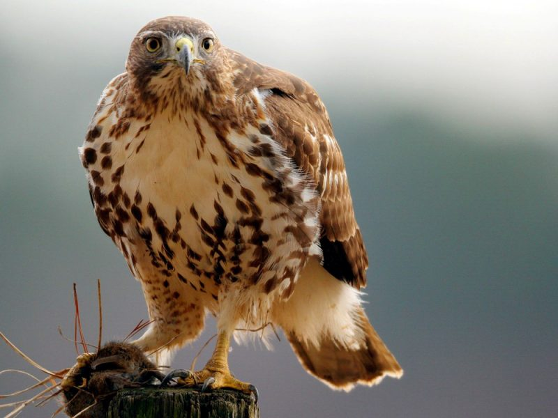 Red-tailed Hawk, Christopher Chao
