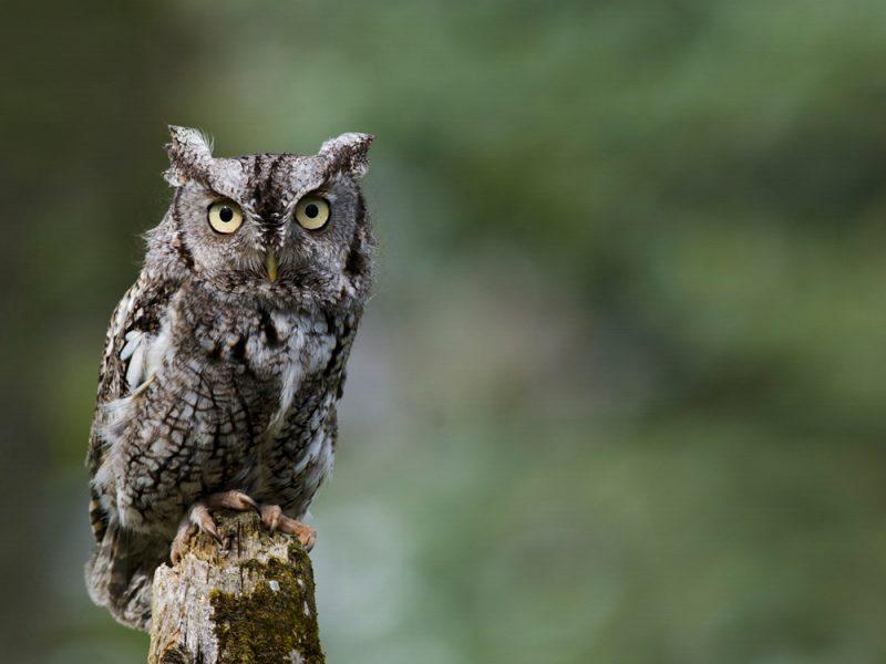Eastern Screech-Owl, Jen St Louis