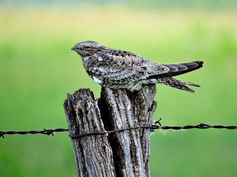 Common Nighthawk, Richard Stebbins