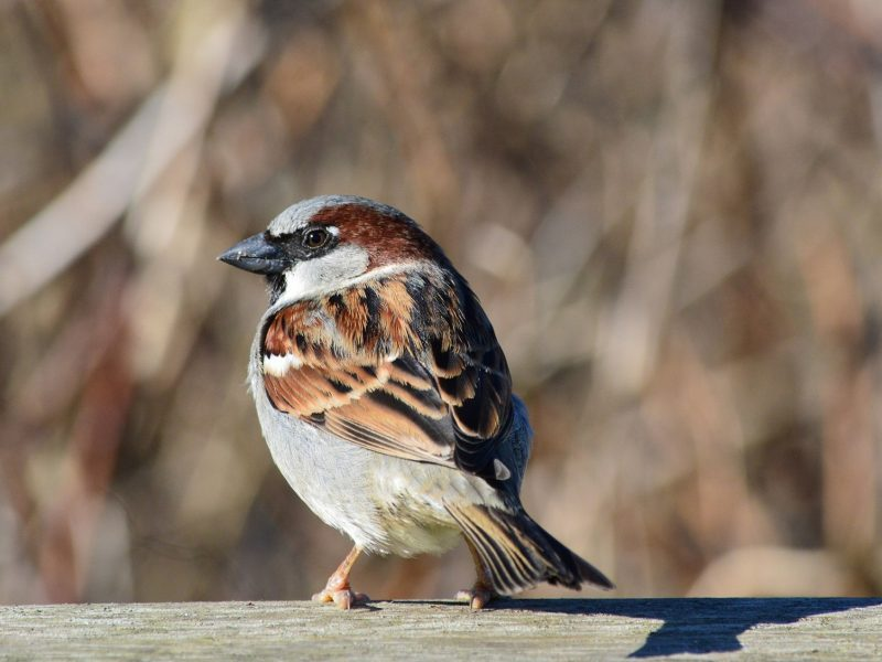 House Sparrow, Tracey Lowrey