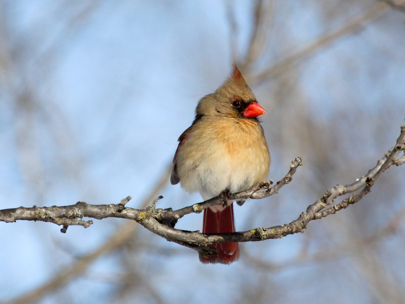 Female Northern Cardinal, Roger Becker