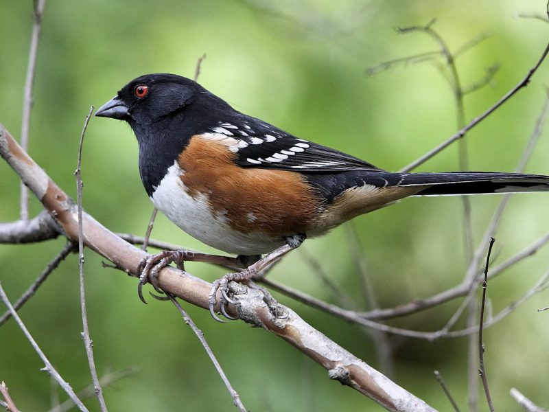 Spotted Towhee, Lou Orr