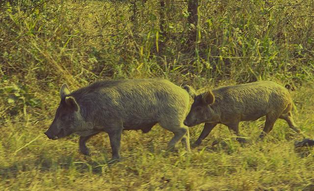 Carol Von Canon, Feral Hogs