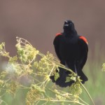 Photo of a red-winged blackbird singing.