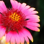 Close-up of a pink and yellow daisy-like flower.