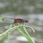 Close-up of a red damselfly on a curled leaf.