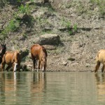 Four horses drinking out of a river with rocks and shrubs in the background.