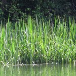 Photo of tall grass at the edge of a river.