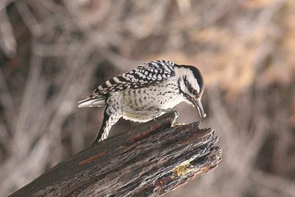 Female Ladder-backed Woodpecker, Jim deVries