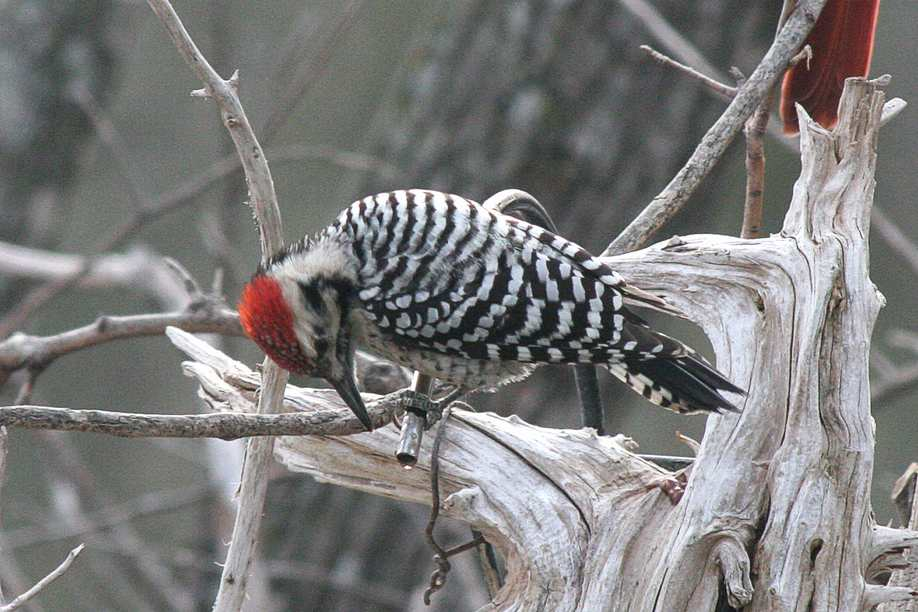 Male Ladder-backed Woodpecker, Jim DeVries