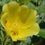 Close-up photo of a yellow flower.