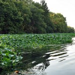 Landscape photo of a river with many water hyacinth along the edge and trees in the background.