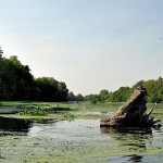 Landscape photo of a river full of green weeds with a large stump sticking up.
