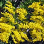 Photo of cluster of small, bright yellow flowers with bees on them.