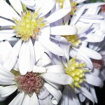 Close up photo of a cluster of white daisy-like flowers.