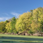 Landscape photo of yellow trees at the edge of a river, which is green with duckweed.