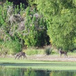 Landscape photo of deer drinking from a river, with a lush green background.