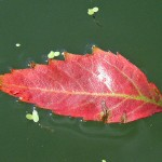Close-up photo of a bright red leaf floating in a river.