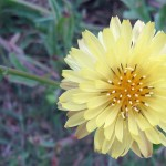 Close-up photo of a light yellow daisy.