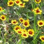 Small yellow sunflower-like flowers.
