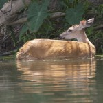 A deer standing in the water by Bruce Atwell.