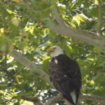 A Bald Eagle in a tree by Bruce Atwell.