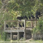 A group of vultures standing on a pier by Bruce Atwell.