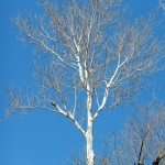 Tree with starkly white bark against a bright blue sky.