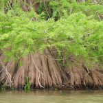 Extensive tree roots growing out of the river with bright green leaves above.
