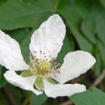 Close-up of delicate white flower with five petals and leafy background.