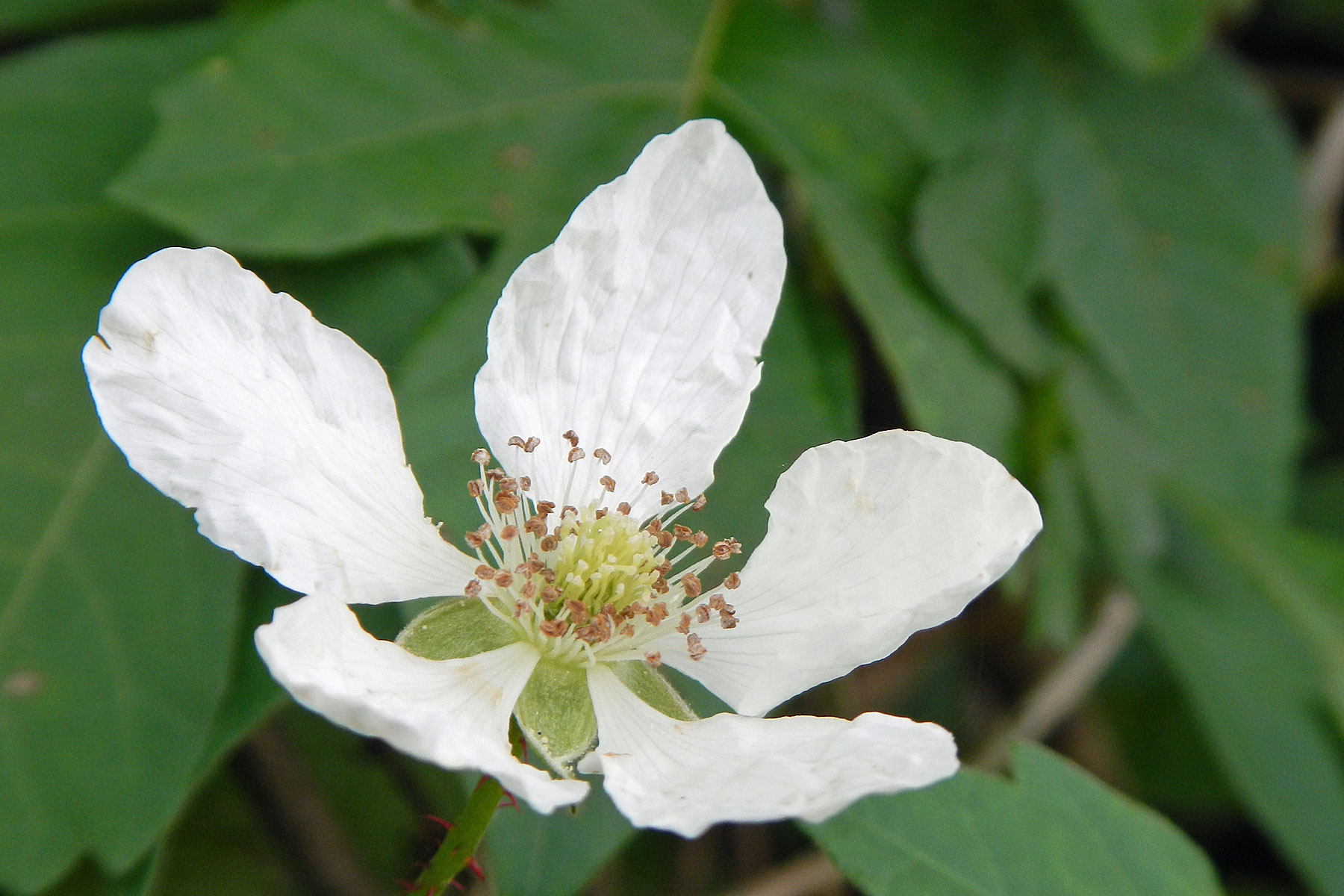 Claudes survey april 2013 dewberry flower travis audubon close up of delicate white flower with five petals and leafy background mightylinksfo