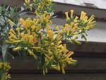 Bunch of yellow, tube-like Nicotiana flowers.